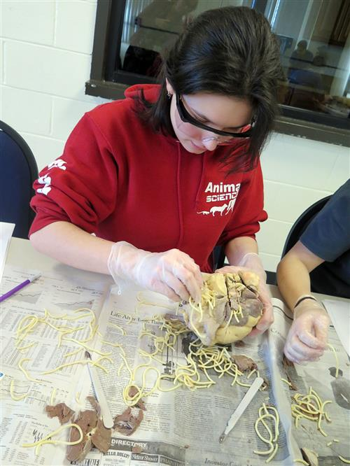 Student places spaghetti in the beef heart to simulate Heartworm disease.