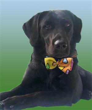black lab with bow tie on collar
